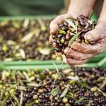 raccolta-olive1