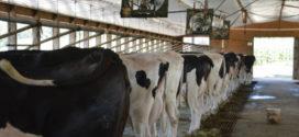 CALDO: COLDIRETTI PUGLIA, SOS MUCCHE NELLE STALLE PER STRESS TERMICO; – 15% LATTE